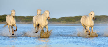 Herd of White Camargue Horses running on the water . Stock Photography