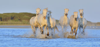 Herd of White Camargue Horses running on the water . Royalty Free Stock Photo