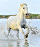 Herd of White Camargue horses running through water Stock Photo