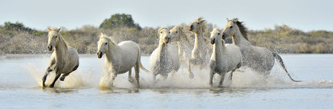 Herd of White Camargue horses running through water Stock Images