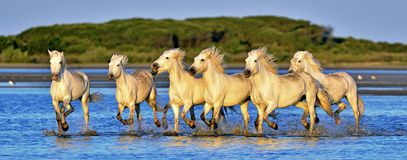 Herd of White Camargue horses running through water Stock Photos
