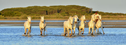 Herd of White Camargue horses running through water Royalty Free Stock Image