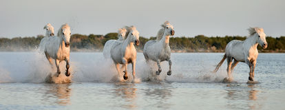 Herd of White Camargue horses running through water Royalty Free Stock Images