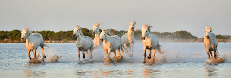 Herd of White Camargue horses running through water. Herd of White Camargue horses run on water of the sea. Sunset . France royalty free stock photo