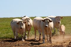 Herd of white cows Royalty Free Stock Images
