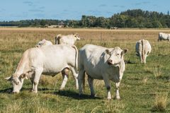 Herd of white cows grazing in a field Royalty Free Stock Photo