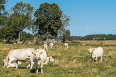 Herd of white cows grazing in a field Royalty Free Stock Image