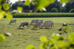 Herd of white cows in a meadow Stock Images