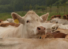 Herd of white cows Royalty Free Stock Photos