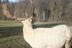 Herd of white deers in field on winter morning stock images