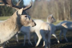 Herd of white deers in field on winter morning stock photography