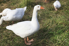 Herd of white domestic geese Royalty Free Stock Photo