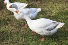 Herd of white domestic geese Royalty Free Stock Images