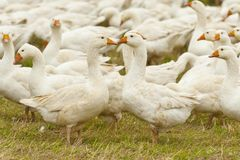 Herd of white domestic geese Royalty Free Stock Photos