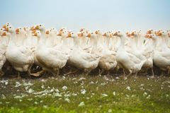 Herd of white domestic geese Stock Images