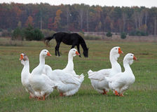 Herd of white domestic geese Stock Photography