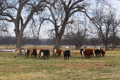 Herd of white faced cows walking forward in a in a horizontal line in pasture under big trees with pond in background