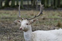 Herd of white fallow deer Dama dama