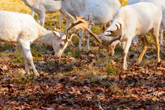Herd of white fallow deer in nature at sunset Royalty Free Stock Photography