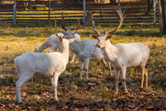 Herd of white fallow deer in nature at sunset Stock Image