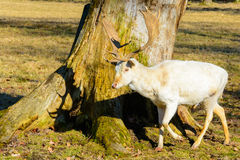 Herd of white fallow deer in nature at sunset Stock Images
