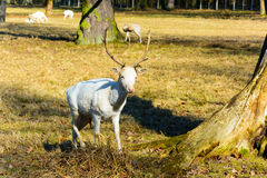 Herd of white fallow deer in nature at sunset Stock Photos