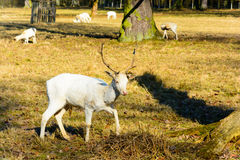 Herd of white fallow deer in nature at sunset Royalty Free Stock Images