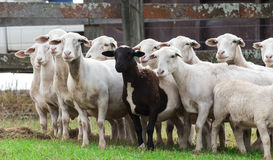 Herd of white farm sheep with one black sheep Royalty Free Stock Image