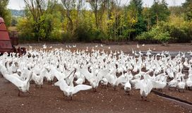 Herd of white geese Stock Image