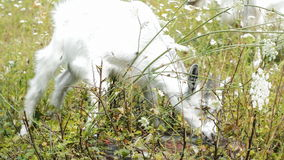 Herd of white goats stock footage