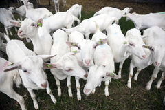 Herd of white goats outside farm in holland Stock Image
