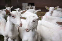 Herd of white goats outside farm in holland Royalty Free Stock Photos