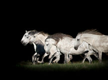 Herd of white horses in the dark Stock Photography