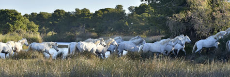 Herd of White Horses Running Stock Image
