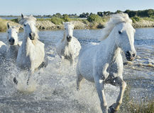 Herd of White Horses Running and splashing through water Royalty Free Stock Photography