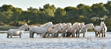 Herd of White Horses Running and splashing through water Royalty Free Stock Images