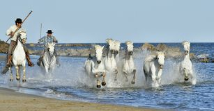 Herd of White Horses Running and splashing through water Royalty Free Stock Photo