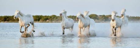 Herd of white horses running through water in sunset light. Royalty Free Stock Photo