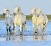 Herd of white horses running through water in sunset light. Stock Photography