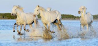 Herd of white horses running through water in sunset light. Stock Image