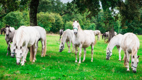 Herd of white horses Royalty Free Stock Photography