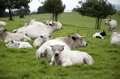 Herd of White Park Cattle Stock Photography
