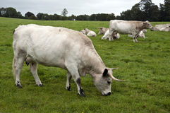 Herd of White Park Cattle Royalty Free Stock Photography