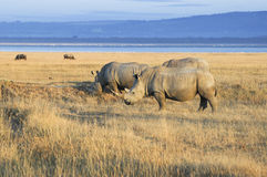 Herd of  White Rhinos Stock Photos