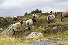Herd of white sheep with black head. Stock Photos