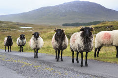 Herd of white sheep with black head on the road. Stock Photography