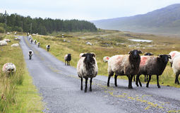 Herd of white sheep with black head on the road. Stock Images
