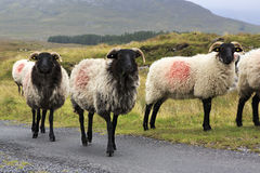 Herd of white sheep with black head on the road. Royalty Free Stock Images