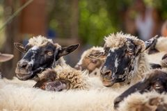 A group of white sheep. royalty free stock photo