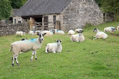 A herd of white sheep with blue paint marks. Royalty Free Stock Photography